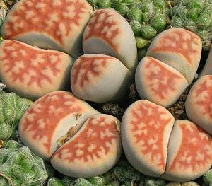 リトープス 美薫玉 種子 5 seed