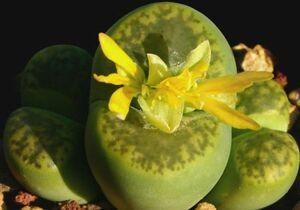 リトープス 鳴弦玉 種子 5 seed