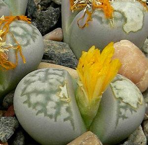 リトープス・蛇紋玉 種子 5 seed