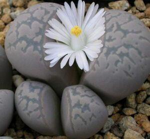 リトープス 繭形玉 種子 5 seed