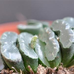 多肉植物 ハオルチア ツルンカータ シースルー 種 2粒 園芸 ガーデニング