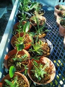 お得。西洋わさび・ホースラディッシュ・山ワサビの苗10本、送料込みの販売
