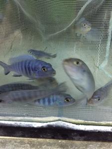 ★即決★熱帯魚★ブルーシクリッド 5匹