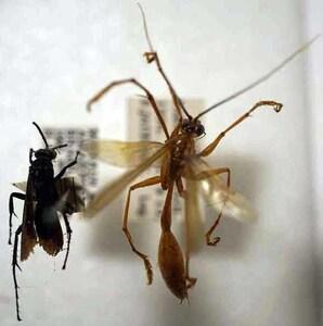 標本 406-37 稀少 ブラジル産 ハチ?の仲間 2ex 現状特価