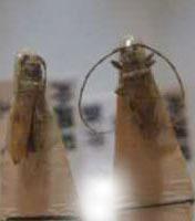 標本 98-6 稀少 沖縄県産 Sybra flavostriata flavostriata 2ex 現状特価