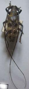 標本 101-57 稀少 日原産 センノカミキリ ♂ 体長約36.9mm 現状特価
