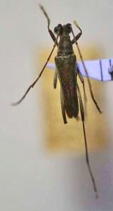 標本 507-C 1点モノ 稀少 長崎県産 アオバホソハナカミキリ 体長約8.3mm 訳有り特価