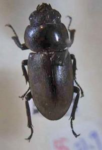 標本 534-55 稀少 ふじみ野市産 クワガタ Lucanidae ♀ 体長約21.9mm 現状特価