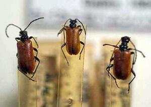 標本 413-1 1点モノ 激レア 高尾山産 キバネニセハムシハナカミキリ 3ex 現状特価