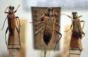 標本 413-62 稀少 山梨県産 オオヒメハナカミキリ 3ex 現状特価