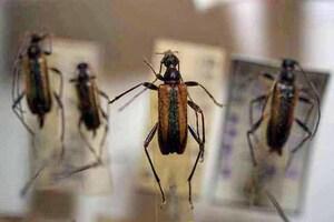 標本 413-46 稀少 山梨県産 キベリクロヒメハナカミキリ 4ex 現状特価