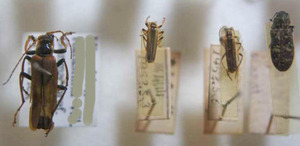 標本 83-6 稀少 高尾山/群馬県産 カミキリムシmix 4ex 現状特価