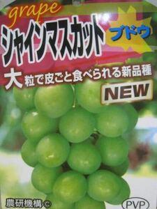 シャインマスカット(PVP)苗木1株