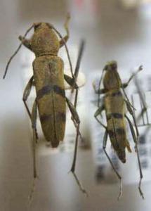 標本 97-48 稀少 福島/山梨県産 フタオビミドリトラカミキリ 2ex 現状特価