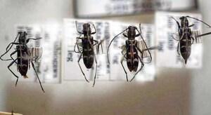 標本 406-32 ラスト1点 稀少 栃木/群馬県産 シロトラカミキリ 4ex 現状特価