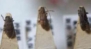 標本 98-33 稀少 沖縄県産 Sybra mimogeminata 3ex 現状特価