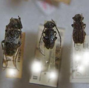 標本 99-39 ラスト1点 稀少 山梨県/高尾山産 Falsomesosella gracilior 3ex 現状特価