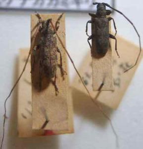 標本 100-14 ラスト1点 稀少 福島県産 Xenicotela pardalina 2ex 訳有り特価