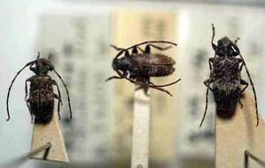 標本 416-26 ラスト1点 稀少 福島県産 シラオビゴマフケシカミキリ 3ex 現状特価
