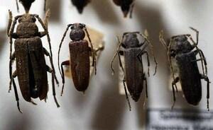 標本 407-21 ラスト1点 稀少 山梨県/東京都産 Arhopalus coreanus 4ex 現状特価