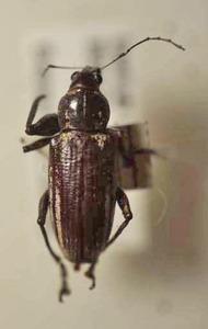 標本 588-A192 激レア ブラジル産 ゾウムシの一種 体長約11.8mm 訳有り特価