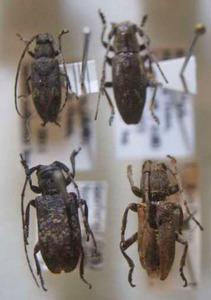 標本 249-14 激レア FORMOSA/台湾産 カミキリムシmix Cerambycidae 4ex 現状特価