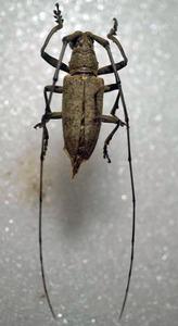 標本 338-77 稀少 マレーシア産 カミキリムシ Cerambycidae 体長約28.6mm 現状特価