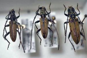 標本 337-1 激レア ベトナム産 カミキリムシ Cerambycidae 3ex 現状特価