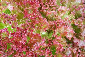 赤リーフレタス種子 2種 計100粒