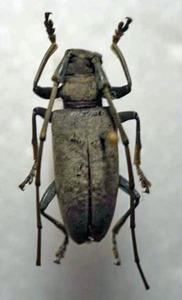 標本 345-9 激レア ソロモン諸島産 カミキリムシ Cerambycidae 体長約24.9mm 訳有り特価