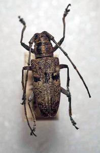 標本 336-74 極珍 ミンダナオ島産 カミキリムシ Cerambycidae 体長約23.4mm 現状特価
