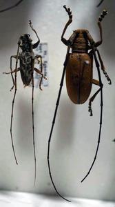 標本 345-1 稀少 ソロモン/パプアニューギニア産 カミキリムシ Cerambycidae 2ex 訳有り特価