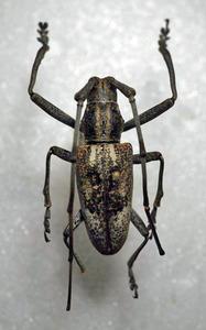 標本 345-53 激レア パプアニューギニア産 カミキリムシ Cerambycidae 体長約33.7mm 訳有り特価