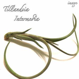 チランジア インターメディア (エアープランツ ティランジア intermedia)