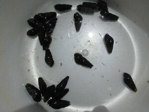 カワニナ 20匹+α 水槽のコケ取り掃除屋です 送料込み総額900円 タニシ 石巻貝 メダカ 金魚 a