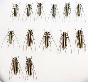 ●●イワサキキンスジカミキリ 13exs. 石垣島 野外採集品●●昆虫 甲虫 虫 カミキリ 剥製 ハクセイ 自然科学 自然 博物学 学術標本 標本