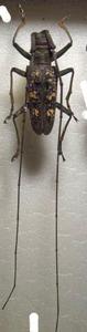 標本 545-77 稀少 マレーシア産 カミキリムシ Cerambycidae 体長約37.7mm 現状特価
