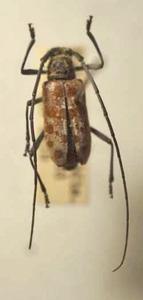 標本 340-A7 極珍1点モノ タイ産 カミキリムシ Cerambycidae 体長約10.6mm 訳有り特価