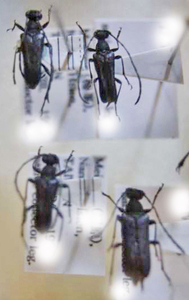 標本 342-30 稀少 台湾産 カミキリムシ Cerambycidae 4ex 現状特価