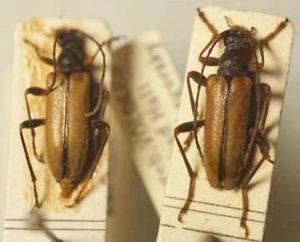 標本 341-A33 極珍 オーストリア産 カミキリムシ Cerambycidae 2ex 現状特価