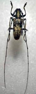 標本 343-95 稀少 台湾産 カミキリムシ Cerambycidae 体長約27.2mm 訳有り特価