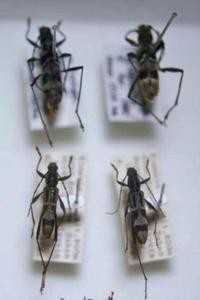 標本 239-1 稀少 マレーシア産 カミキリムシ Cerambycidae 4ex 現状特価