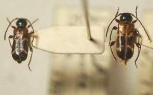 標本 341-A40 極珍 イタリア産 カミキリムシ Cerambycidae 2ex 現状特価