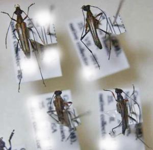 標本 342-17 稀少 RORMOSA産 カミキリムシ Cerambycidae 4ex 現状特価