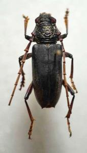 標本 334-32 稀少 マレーシア産 カミキリムシ Cerambycidae 体長約27.5mm 訳有り特価