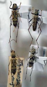 標本 343-35 稀少 FORMOSA/台湾産 カミキリムシ Cerambycidae 4ex 現状特価