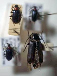 標本 341-43 極珍 イタリア/フランス産 Acmageops calaris他 4ex 現状特価
