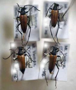 標本 341-13 極珍 フランス産 カミキリムシ Cerambycidae 4ex 現状特価