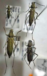 標本 343-9 稀少 獅子頭/FORMOSA産 カミキリムシ Cerambycidae 4ex 現状特価