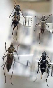 標本 343-23 激レア 台湾/FORMOSA産 カミキリムシ Cerambycidae 4ex 現状特価